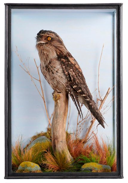 Taxidermy: A cased Frogmouth, recent, 63cm high by 45cm wide