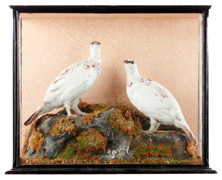 Taxidermy: Macleay of Inverness: A case of Ptarmigan, late 19th century, 50cm high…