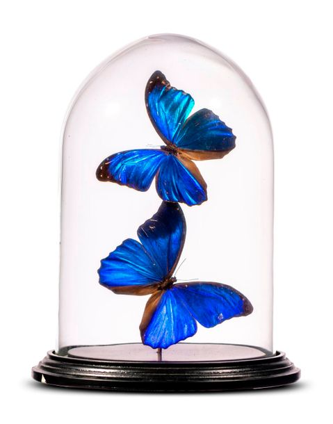Taxidermy: A display of colourful butterflies under glass dome, modern, 27cm hi…