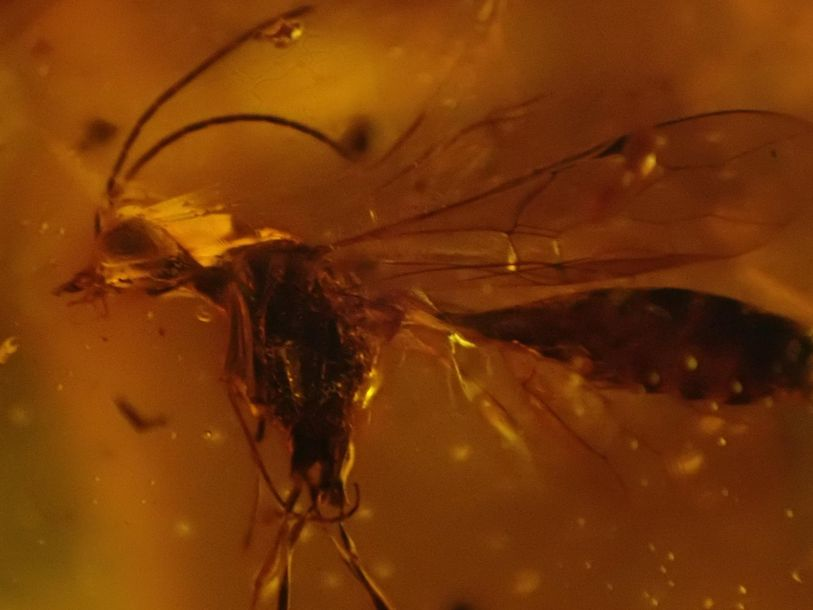 Natural History: An amber specimen containing the remains of a fly and other insects,…
