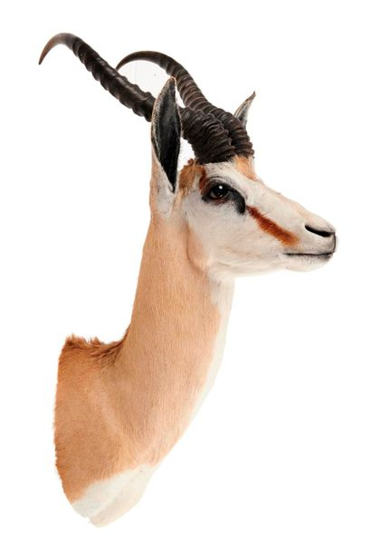 Taxidermy: Two Sommerings gazelle heads, recent, the larger 70cm high by 43cm w…