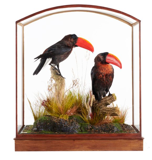 Taxidermy: Toucanets by Frankenstein, reconstructed from non cites species in a…