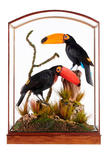 Taxidermy: Toucans by Frankenstein, mythical birds reconstructed from non cites…