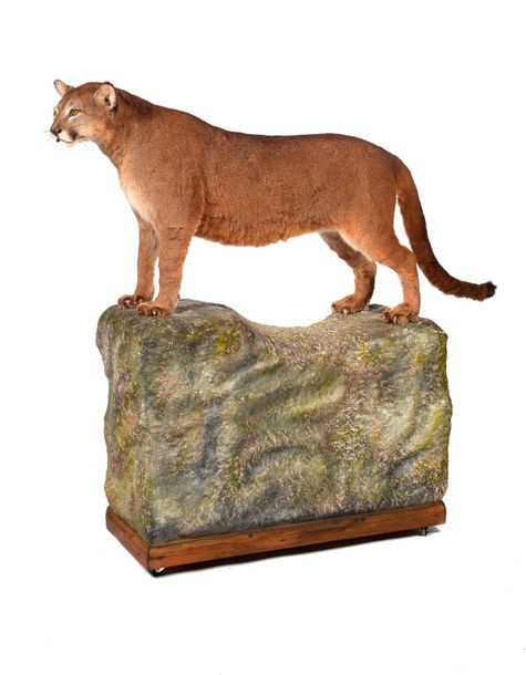 Taxidermy: A Puma (Panthera) mounted by Rowland Ward, on naturalistic base pre 1968…