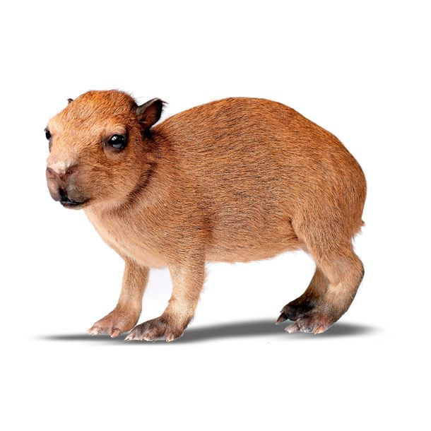 Taxidermy: A full mount baby Capibara, modern, 31cm