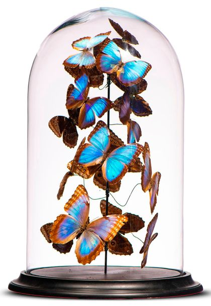 Taxidermy: A very large display of colourful butterflies under glass dome, modern,…