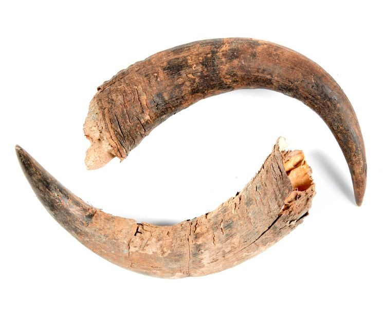 Natural History: A pair of Bison Pricus horns, Siberia, Ice Age, 53cm