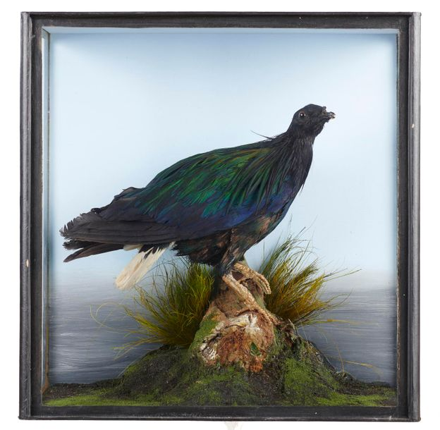 Taxidermy: A Victorian Nicobar pigeon, late 19th century, 41cm by 41cm, These are…