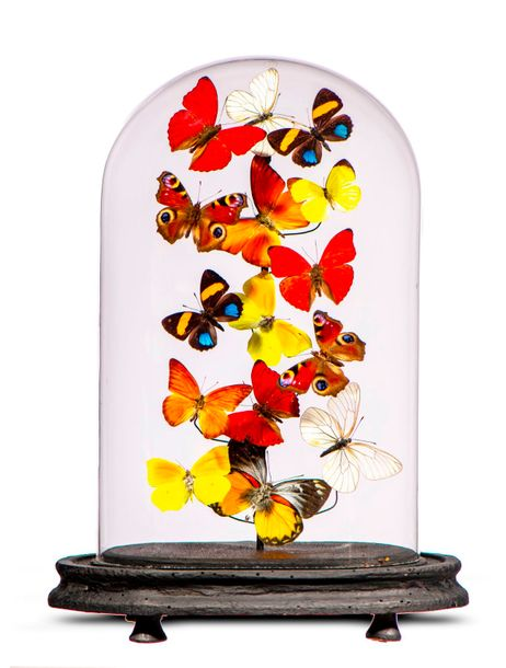 Taxidermy: A display of colourful butterflies under glass dome, modern, 35cm hi…